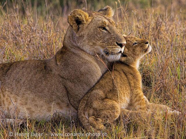 lew z lwiątkiem